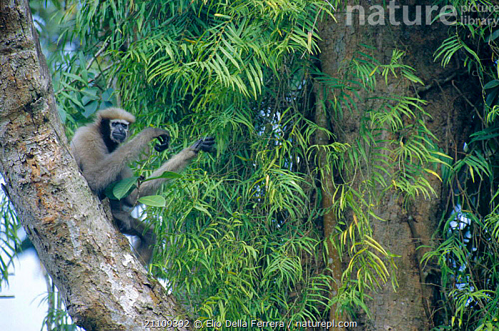 White browed gibbon in tree {Hylobates hoolock} Vulnerable species, Assam, India  ,  HANDS,INDIAN SUBCONTINENT,GIBBONS,PRIMATES,ASIA,DIGITS,MAMMALS,Apes  ,  Elio Della Ferrera