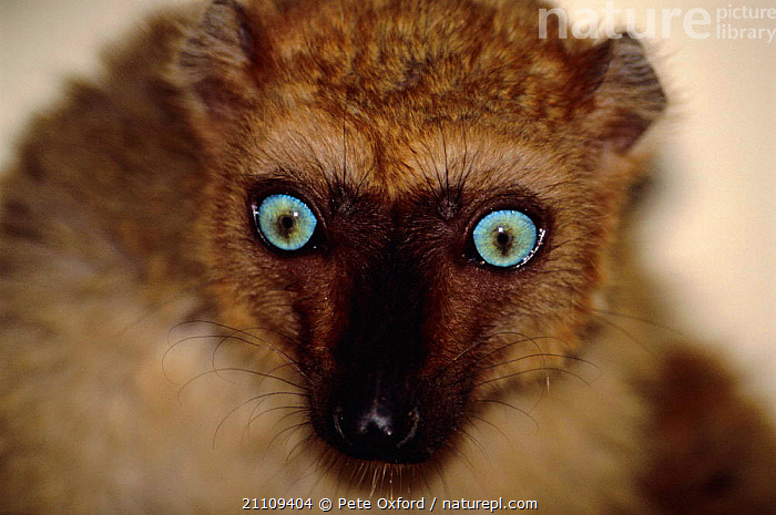 Sclater's black lemur, female {Lemur macaco flavifrons} Madagascar  ,  MAMMALS,EYES,PRIMATE,PORTRAIT,HEADS,PORTRAITS,CAPTIVE,FACES,FEMALES,MAMMAL,PRIMATES,S,BLUE,LEMURS,SCLATER  ,  Pete Oxford