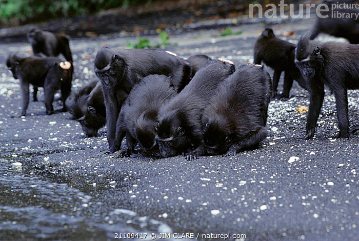 Celebes / Black / Sulawesi crested macaques {Macaca nigra} drink fresh ground water at beach. Tangkoko  ,  PRIMATES,ASIA,BEHAVIOUR,INDONESIA,MAMMALS,RESERVE,SULAWESI,DRINKING,BEACHES,BEACH,GROUP,BLACK,GROUPS,MONKEYS  ,  JIM CLARE