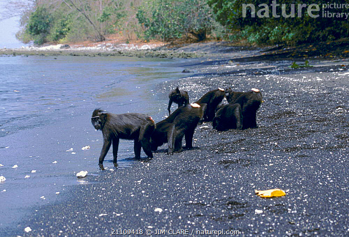 Celebes / Black / Sulawesi crested macaques (Macaca nigra) drink fresh ground water at beach. Tangkoko NP, Sulawesi  ,  RESERVE,BEACHES,BLACK,BEACH,BEHAVIOUR,MAMMALS,PRIMATES,ASIA,DRINKING,GROUPS,MONKEY,Monkeys  ,  JIM CLARE
