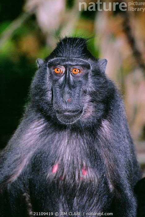 Celebes / Black / Sulawesi crested macaque {Macaca nigra} portrait Tangkoko NP, Sulawesi Sulawesi black macaque  ,  ASIA,INDONESIA,PRIMATES,MACAQUES,RESERVE,MAMMALS,PORTRAITS,Monkeys  ,  JIM CLARE