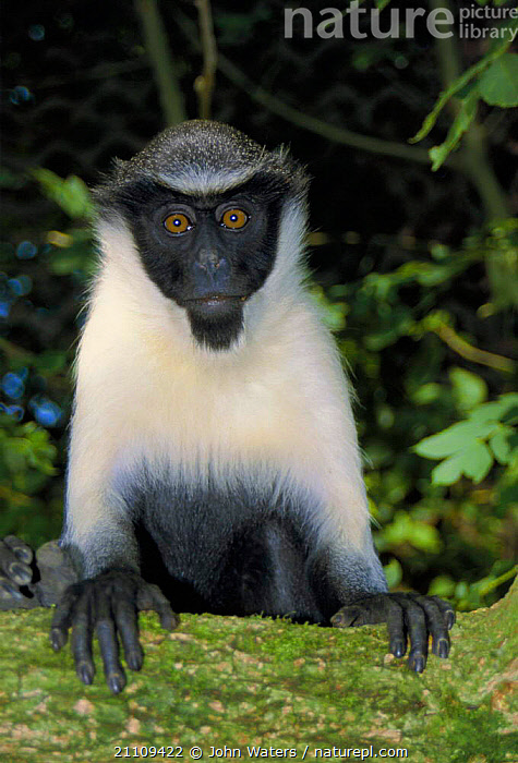 Diana monkey female {Cercopithecus diana} captive occurs West Africa  ,  PRIMATES,BLACK,WHITE,WEST AFRICA,GUENONS,MAMMALS,Africa  ,  John Waters
