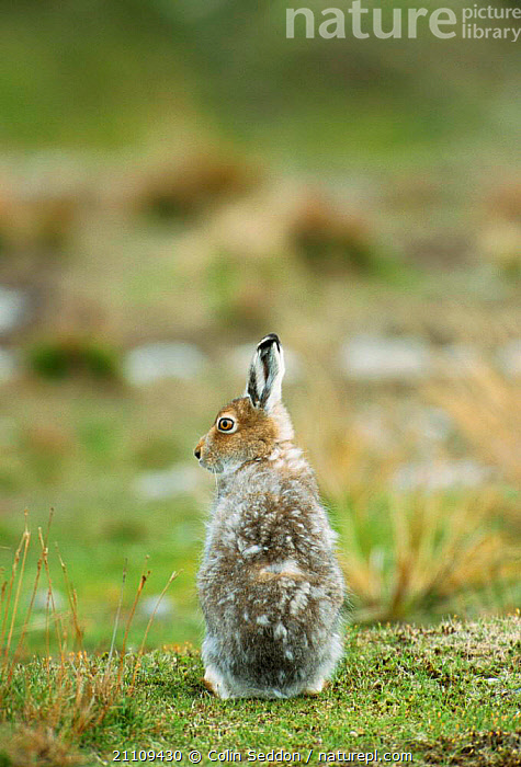 Mountain hare moulting in spring {Lepus timidus} Sheltand Is, Scotland, UK  ,  LAGOMORPHS,MAMMALS,BRITISH,COLOUR,COAT,EUROPE,WILDLIFE,HARES,CHANGING  ,  Colin Seddon