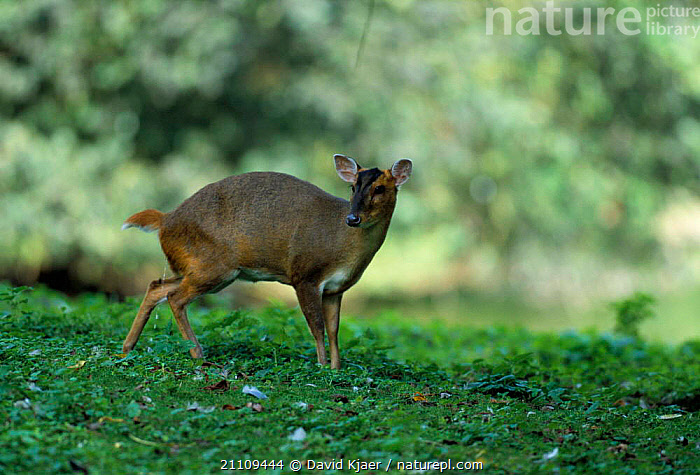 Chinese muntjac deer, female urinating {Muntiacus reevesi} captive Norfolk, UK  ,  RESTING,URINE,WILDLIFE,EUROPE,MAMMALS,FEMALES,ENGLAND,EXCRETION,BRITISH,ARTIODACTYLA,Deer  ,  David Kjaer