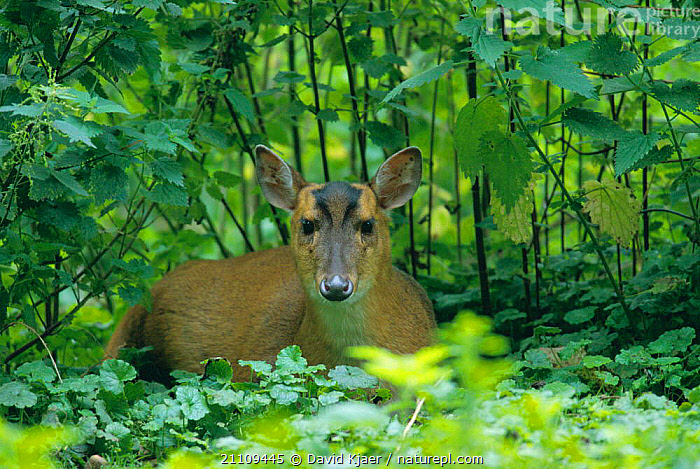 Chinese muntjac deer, female {Muntiacus reevesi} captive Norfolk, UK  ,  MAMMALS,BRITISH,FEMALES,ENGLAND,RESTING,WOODLANDS,ARTIODACTYLA,EUROPE,WILDLIFE,Deer  ,  David Kjaer