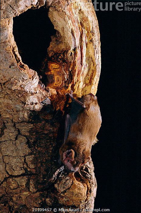 Noctule bat at roost site entrance in tree trunk {Nyctalus noctula} UK  ,  BATS,BEHAVIOUR,CHIROPTERA,MAMMALS,EUROPE,NIGHT,TRUNKS,ENGLAND,WILDLIFE,TREES,BRITISH,Plants  ,  Mike Read