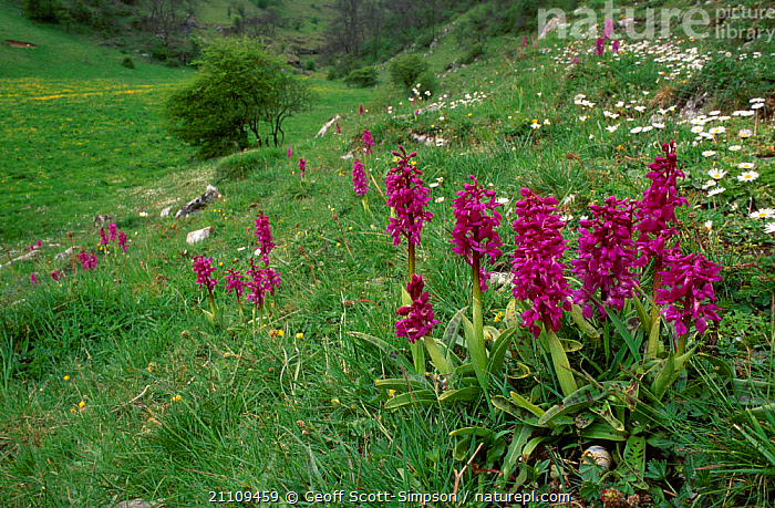 Early purple orchids {Orchis mascula} Peak District NP UK  ,  BRITISH,EUROPE,RESERVE,PETER,PLANTS,ENGLAND,,flowers,flower,  ,  Geoff Scott-Simpson