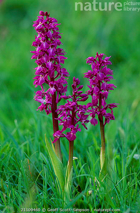 Early purple orchid {Orchis mascula} Peak District NP UK  ,  THREE,DERBYSHIRE,PLANTS,EUROPE,BRITISH,ORCHIDS,ENGLAND,,flowers,flower,  ,  Geoff Scott-Simpson