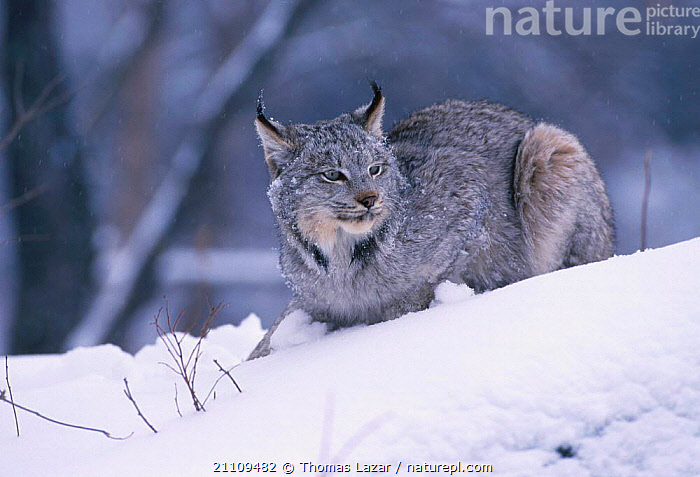 Canadian lynx {Lynx canadensis} sitting in snow Minnesota USA. captive  ,  NORTH AMERICA,SNOWING,HILL,PORTRAITS,WOODLANDS,CATS,MAMMALS,USA,WINTER  ,  Thomas Lazar