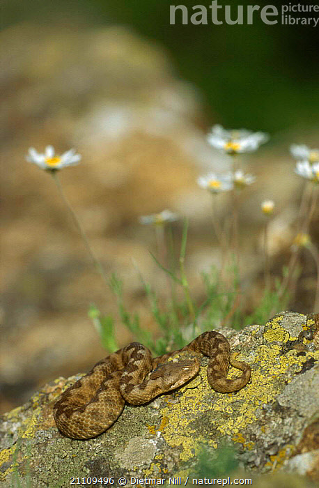 Sand / long nosed viper basking on rock {Vipera ammodytes} Bulgaria  ,  VIPERS,REPTILES,EUROPE,THERMOREGULATION,SNAKES,SUNBATHING, VIPERS  ,  Dietmar Nill