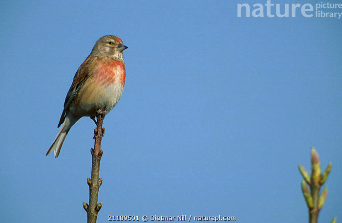 Linnet perched {Acanthis cannabina} Germany  ,  BIRDS,EUROPE,FINCHES  ,  Dietmar Nill