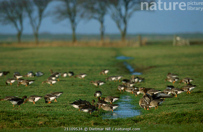 White fronted geese grazing in flooded meadow {Anser albifrons} Germany  ,  FEEDING,BIRDS,GROUPS,FLOCKS,WATERFOWL,LANDSCAPES,WILDFOWL, waterfowl  ,  Dietmar Nill