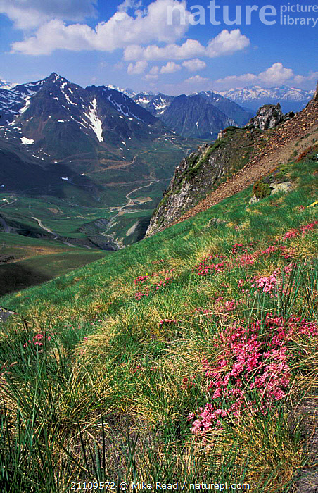Pyrenean landscape with Garland flower {Daphne cneorum} nr Col du Tourmalet Pyrenees France  ,  PLANTS,FLOWERS,PINK,LANDSCAPES,DAPHNE,ALPINE,VALLEY,CNEORUM,HIGHLANDS,Europe  ,  Mike Read
