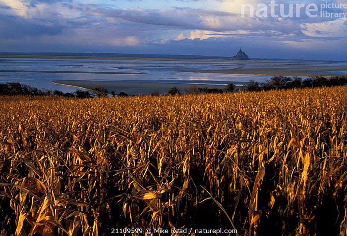 Maize crop with Mont St Michel in background Normandy France  ,  LOW,ISLAND,HISTORIC,PLANTS,CROPS,LITTORAL,LANDMARK,LANDSCAPES,TIDE,INTERTIDAL,Europe  ,  Mike Read