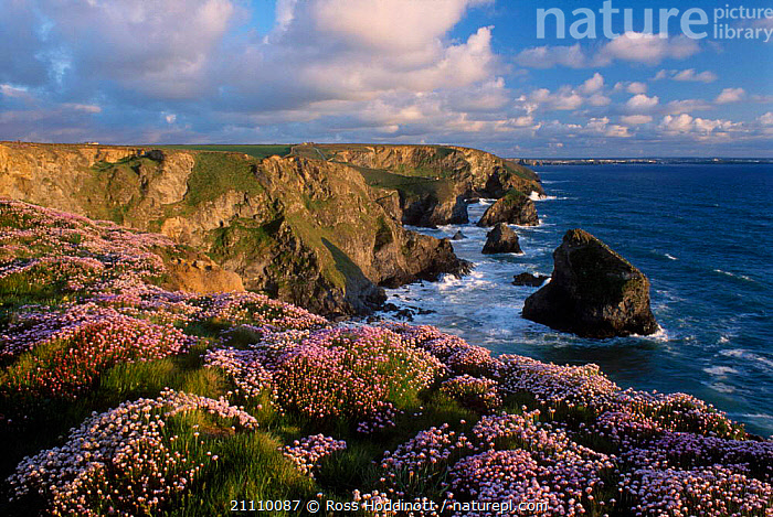 Sea pinks / thrift {Armeria maritima} on Bedruthan steps Cornwall UK  ,  COASTS,LANDSCAPES,MARITIMA,FLOWERS,EUROPE,ARMERIA,ENGLAND  ,  Ross Hoddinott