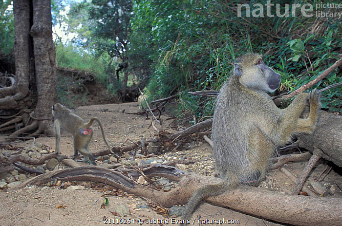 Yellow baboons {Papio cynocephalus} Mikuml NP Tanzani  ,  EAST AFRICA,PRIMATES,RESERVE,TWO,MAMMALS,TANZANIA,AFRICA,MONKEYS  ,  Justine Evans