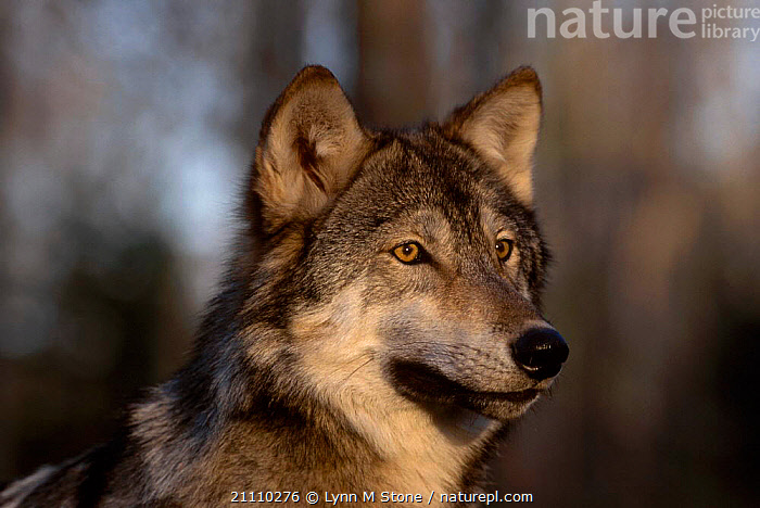 Grey wolf portrait {Canis lupus} captive Minnesota USA  ,  NORTH AMERICA,CARNIVORE,WOLVES,PORTRAITS,MAMMALS,CARNIVORES,DOGS,CANIDS  ,  Lynn M Stone