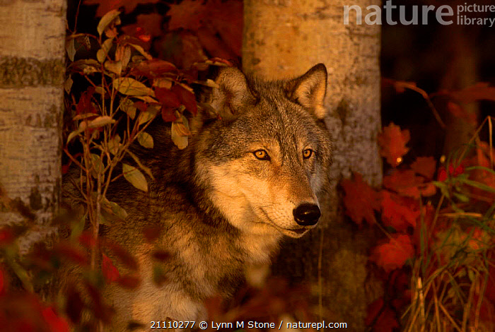 Grey wolf portrait {Canis lupus} captive Minnesota USA  ,  CARNIVORES,WOLVES,MAMMALS,NORTH AMERICA,PORTRAITS,DOGS,CANIDS  ,  Lynn M Stone
