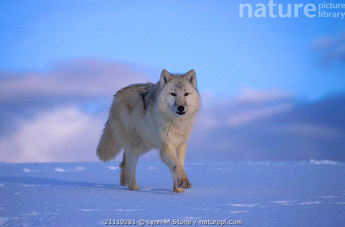 Arctic grey wolf {Canis lupus} with white fur, on snow, captive, US  ,  CARNIVORES,USA,WALKING,MAMMALS,CAMOUFLAGE,CARNIVORE,WOLVES,NORTH AMERICA,DOGS,CANIDS  ,  Lynn M Stone