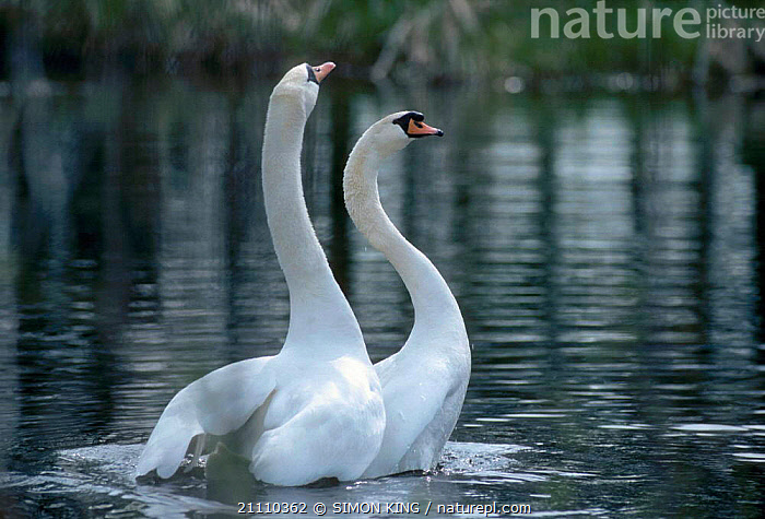 Mute swan pair in post coital dance {Cygnus olor} UK  ,  EUROPE,WATER,BRITISH,SWANS,TWO,BIRDS,DISPLAY,WATERFOWL,BEHAVIOUR,MATING BEHAVIOUR,MALE FEMALE PAIR,ENGLAND,COUPLE,REPRODUCTION,COMMUNICATION,WILDFOWL, Waterfowl  ,  SIMON KING