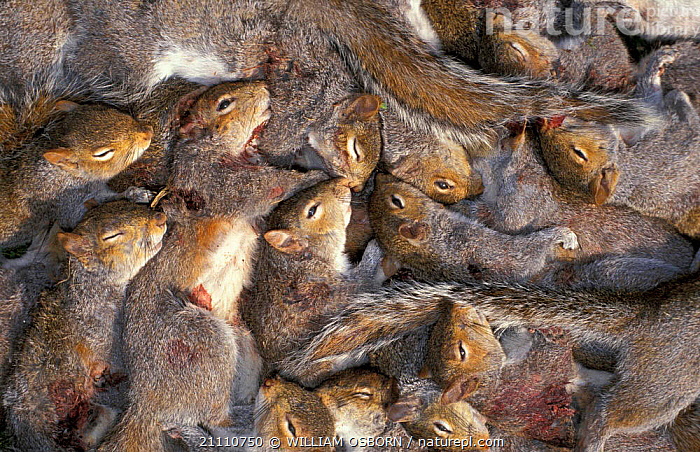 Pile of dead Grey squirrels shot as part of vermin control programme. Wiltshire UK  ,  BLOOD,DEATH,GROUPS,MAMMALS,PESTS,RODENTS,PROGRAMME  ,  WILLIAM OSBORN