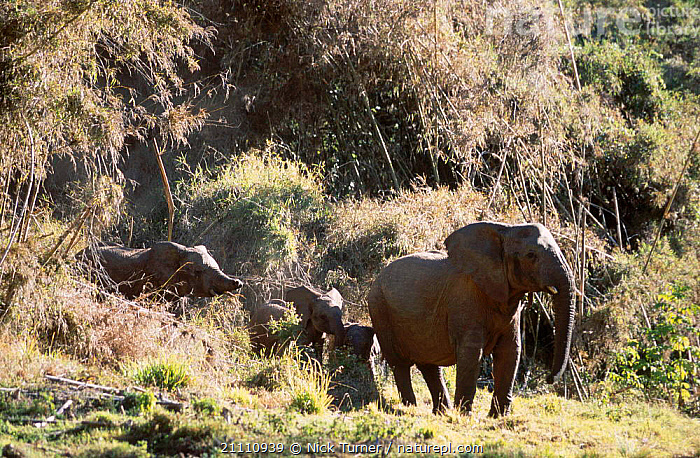 Cave elephants of Mt Elgon NP Kenya in bamboo forest. NB short trunk from poachers snare.  ,  POACHING,FAMILIES,BABIES,PROBOSCIDS,TRUNKS,EAST AFRICA,AFRICA,FOREST,SNARE,2002,GROUPS,RESERVE,MAMMALS,WOUNDED,ELEPHANTS  ,  Nick Turner
