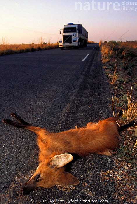 Maned wolf roadkill {Chrysocyon brachyurus} Piaui state Brazil  ,  ROADS,DEATH,LORRY,CARNIVORES,SOUTH AMERICA,VEHICLES,WOLVES,MAMMALS,DOGS,CANIDS  ,  Pete Oxford