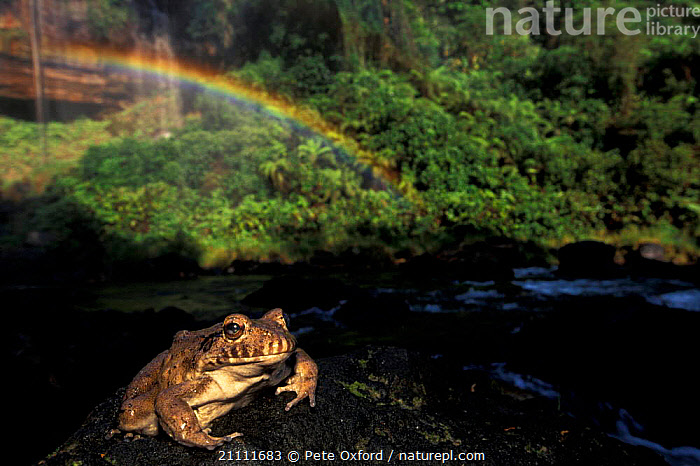 Large frog sitting on rock in front of Acaba Vida waterfall nr Barreiras NE Brazil  ,  BIG,RIVERS,AMPHIBIANS,TROPICAL RAINFOREST,LANDSCAPES,COASTAL FORESTS,RAINBOWS,WEATHER,SOUTH-AMERICA  ,  Pete Oxford