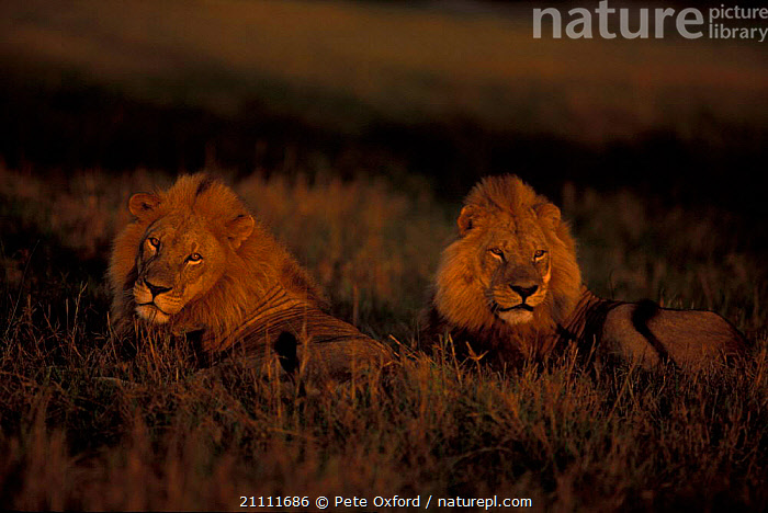 Two male African lions {Panthera leo} Okavango delta Botswana  ,  RESERVE,MALES,AFRICA,MAMMALS,SOUTHERN AFRICA,CARNIVORES,LIONS,BIG CATS  ,  Pete Oxford