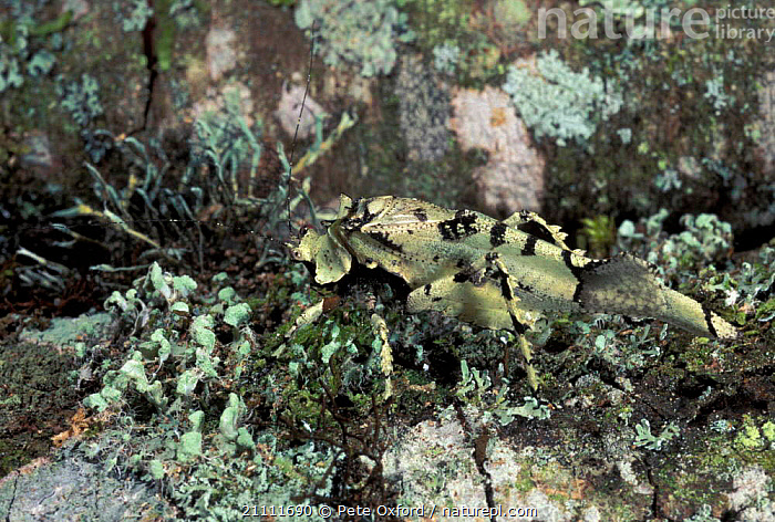 Katydid mimicing lichen {Tettigonoidae} Manu cloud forest Peru  ,  LICHENS,PLANTS,CLOUD FOREST,SOUTH AMERICA,CRICKETS,CAMOUFLAGE,INSECTS,TROPICAL RAINFOREST,MIMICRY,INVERTEBRATES,ORTHOPTERA  ,  Pete Oxford