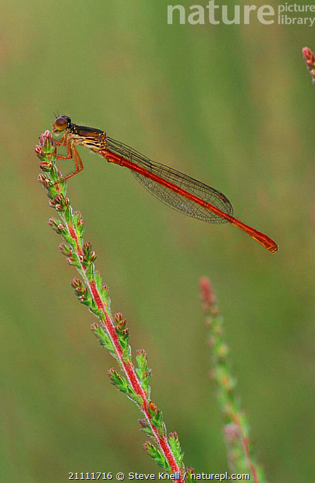 Small red damselfly male {Ceriagrion tenellum} UK  ,  BRITISH,ENGLAND,DAMSELFLIES,ODONATA,EUROPE,INSECTS,MALES,INVERTEBRATES  ,  Steve Knell
