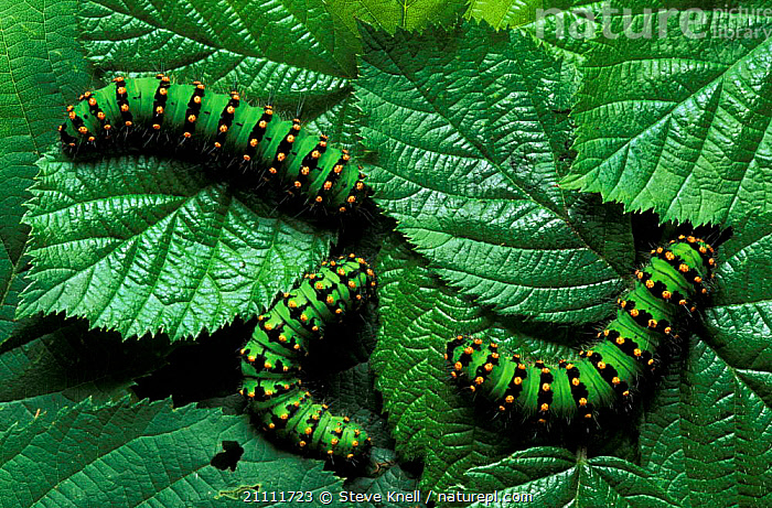 Emperor moth caterpillars (final instar) {Saturnia pavonia} UK  ,  BRITISH,LARVAE,INSTAR,FINAL,CATERPILLARS,INVERTEBRATES,THREE,ENGLAND,INSECTS,EUROPE,MOTHS,GREEN,LEPIDOPTERA  ,  Steve Knell