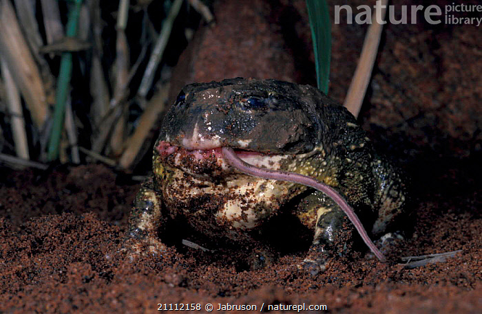 Bullfrog {Pyxicephalus flagrigula} feeding on mouse. Eyeballs receded into top of head to help push food through mouth.  ,  DOWN,INTERESTING,TSAVO,FOOD,MOUTH,EAST AFRICA,KENYA,MOUSE,NP,RESERVE,AFRICA,BEHAVIOUR,HELP,PUSH,RODENTS,AMPHIBIANS,MAMMALS,NATIONAL PARK,FROGS,ANURA , Bruce Davidson  ,  Jabruson