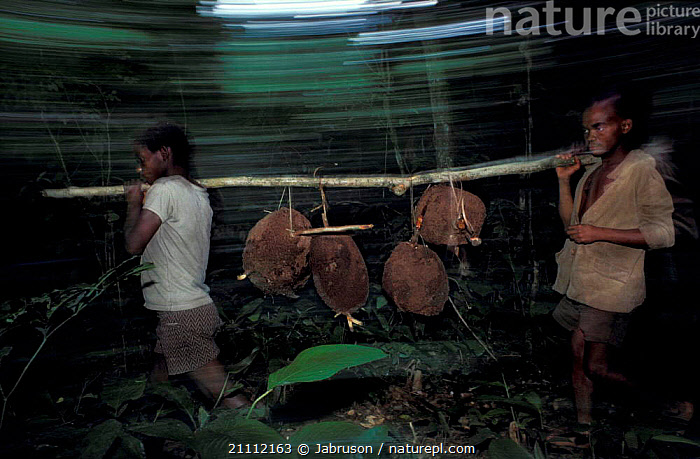 Bambuti people collecting termite nests in rainforest Epulu RR Dem Rep Congo  ,  ZAIRE,HARVESTING,TRADITIONAL,INSECTS,TRIBES,TROPICAL RAINFOREST,INVERTEBRATES,Africa , Bruce Davidson  ,  Jabruson