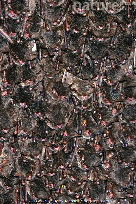 Southeastern brown bats roosting in cave {Myotis austroriparius} Florida, USA  ,  USA,CHIROPTERA,MAMMALS,CAVES,NORTH AMERICA,GROUPS,VERTICAL,MASS  ,  Barry Mansell
