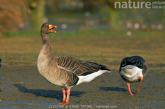 Greylag goose calling {Anser anser} Scotland, UK  ,  EUROPE,GEESE,VOCALISATION,BIRDS,BRITISH,WATERFOWL,WATER,Wildfowl, waterfowl  ,  DAVID TIPLING