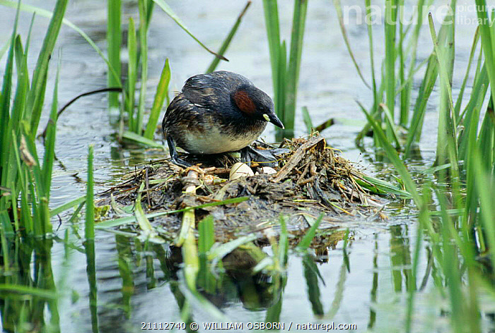Little grebe returns to eggs on nest {Tachybaptus ruficollis} UK  ,  WATERFOWL,EUROPE,NESTS,WETLANDS,BIRDS,GREBES,ENGLAND,BIRD,BRITISH , dabchick  ,  WILLIAM OSBORN