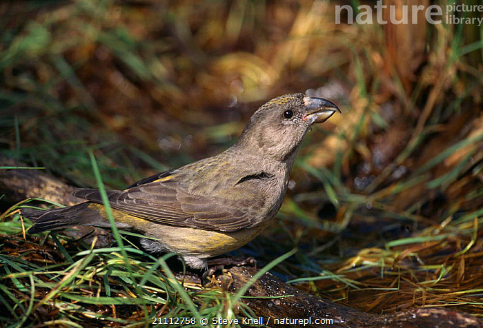 Red crossbill female drinking {Loxia curvirostra} UK  ,  BRITISH,BIRD,ENGLAND,BIRDS,FEMALES,FINCHES,EUROPE  ,  Steve Knell