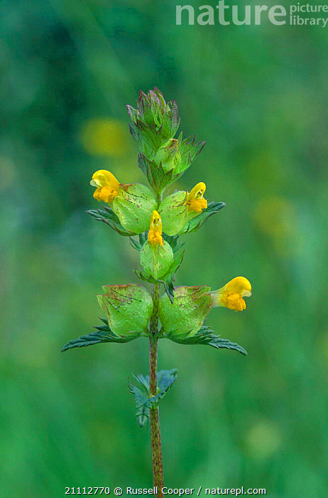 Yellow rattle flower {Rhinanthus minor} UK  ,  EUROPE,PLANT,ENGLAND,RATTLES,FLOWERS,PLANTS  ,  Russell Cooper