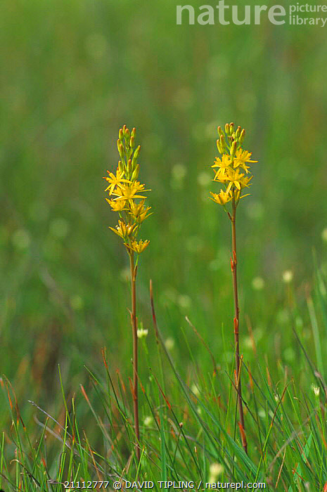Bog asphodel flowering {Narthecium ossifragum} UK  ,  FLOWERS,YELLOW,BOGS,ENGLAND,EUROPE,PLANTS,Wetlands  ,  DAVID TIPLING