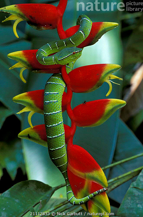 Waglers pit viper {Tropidolaemus wagleri} on Heliconia bloom. Sabah Borneo.  ,  KINABATANGAN,ANT,WAGLER,BLOOM,REPTILES,PLANTS,SNAKES,INSECTS,SQUAMATA,FLOWERS,MALAYSIA,COLOURFUL,BORNEO,VIPERS,INVERTEBRATES  ,  Nick Garbutt