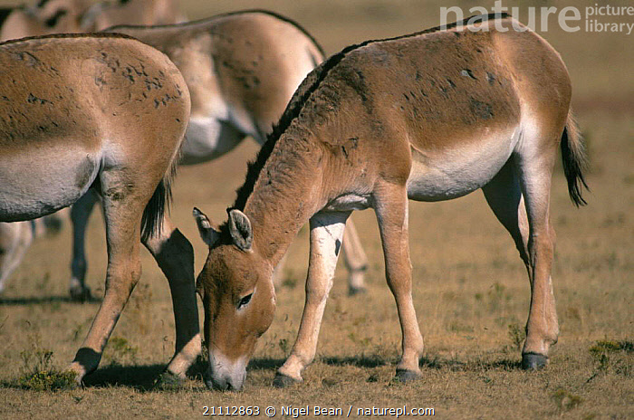 Kulan / Wild ass grazing {Equus hemonius kulan} captive herd in equine sanctuary, USA New  ,  GROUPS,MAMMALS,PERISSODACTYLA,MAMMAL  ,  Nigel Bean