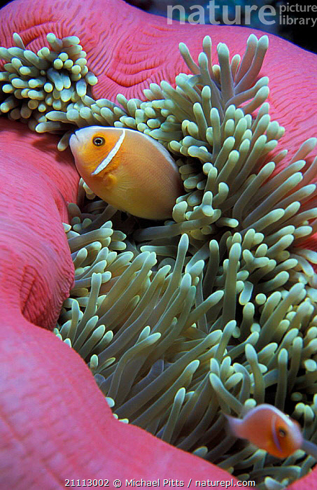 Pink anemonefish {Amphiprion perideraion} in anemone Palau Micronesia  ,  BEHAVIOUR,SYMBIOSIS,MARINE,CLOWNFISH,UNDERWATER,FISH,TROPICAL,ANTHOZOANS,MIXED SPECIES,CONCEPTS,PARTNERSHIP,INVERTEBRATES, Partnership  ,  Michael Pitts