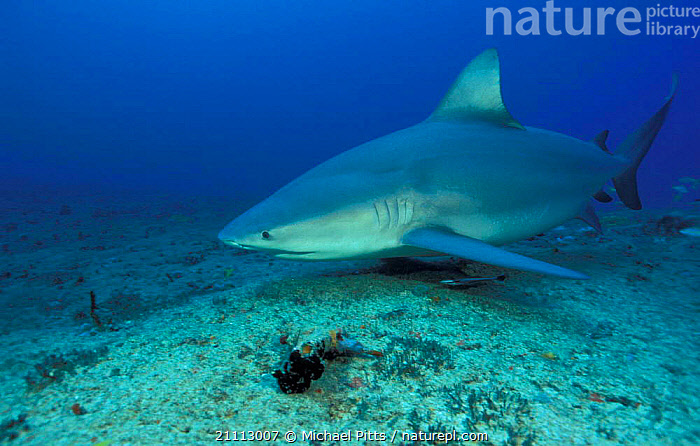 Bull shark {Carcharhinus leucas} Santa Playa Cuba  ,  UNDERWATER,SHARKS,FISH,CARIBBEAN,PORTRAITS,TROPICAL,MARINE,West Indies, Fish  ,  Michael Pitts