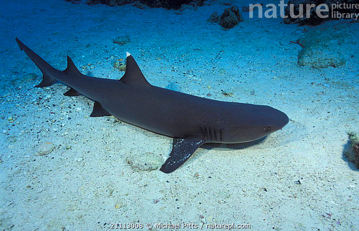 Whitetip reef shark resting on seabed {Triaenodon obesus} Cocos Is Costa Rica  ,  SHARKS,UNDERWATER,TROPICAL,PACIFIC OCEAN,PACIFIC,FISH,COASTAL WATERS,MARINE, Fish  ,  Michael Pitts