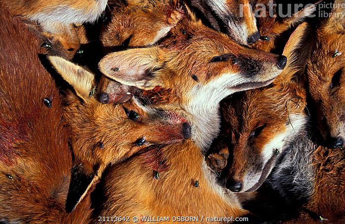 Red fox {Vulpes vulpes}. Dead animals shot during vermin control programme SW England.  ,  ENGLAND,FOXES,UK,HUNTING,MAMMALS,CONSERVATION,EUROPE,BRITISH,HORRIFIC,DEATH,INSECTS,FLIES,UNITED KINGDOM,INVERTEBRATES,DOGS,CANIDS  ,  WILLIAM OSBORN