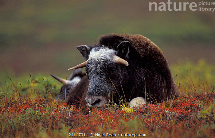 Yearling male Muskox resting {Ovibos moschatus} Seward Peninsula, Alaska  ,  OXEN,LYING,NORTH AMERICA,ARTIODACTYLA,USA,SUBADULT,MAMMALS,REST,MALES  ,  Nigel Bean