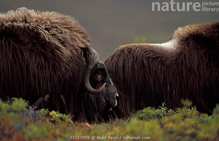 Muskox bull sniffing female {Ovibos moschatus} Seward Peninsula, Alaska, USA  ,  MALES,BEHAVIOUR,MATING BEHAVIOUR,OXEN,ARTIODACTYLA,MALE FEMALE PAIR,NORTH AMERICA,MAMMALS,HAIR,Reproduction  ,  Nigel Bean