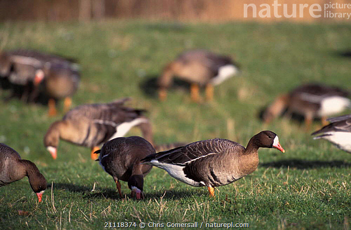Flock of White fronted geese grazing {Anser albifrons} Norfolk, England  ,  FEEDING,FLOCKS,BIRDS,UK,EUROPE,GROUPS,WATERFOWL,United Kingdom,British,Wildfowl, waterfowl  ,  Chris Gomersall