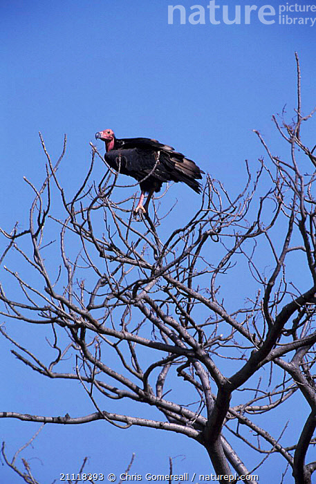 Red headed vulture in tree {Sarcopgyps calvus} Bandhavgarh NP, India  ,  VULTURES,ASIA,BIRDS,RESERVE,VERTICAL,SARCOPGYPS  ,  Chris Gomersall